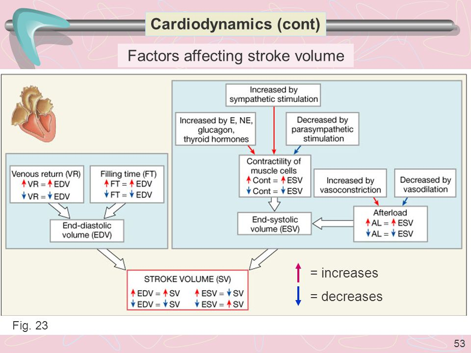 53 Cardiodynamics (cont) Factors affecting stroke volume Fig. 23 = increases = decreases