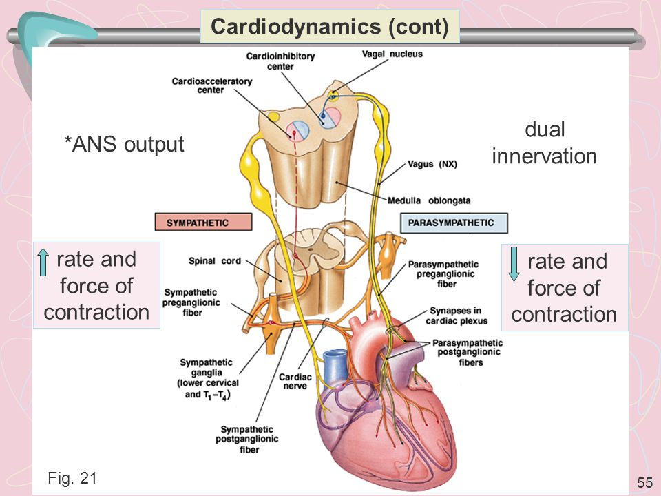 55 Cardiodynamics (cont) dual innervation *ANS output Fig. 21 rate and force of contraction