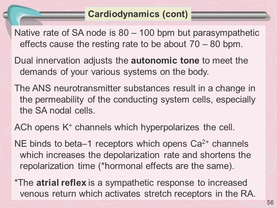 56 Cardiodynamics (cont) Native rate of SA node is 80 – 100 bpm but parasympathetic effects cause the resting rate to be about 70 – 80 bpm.
