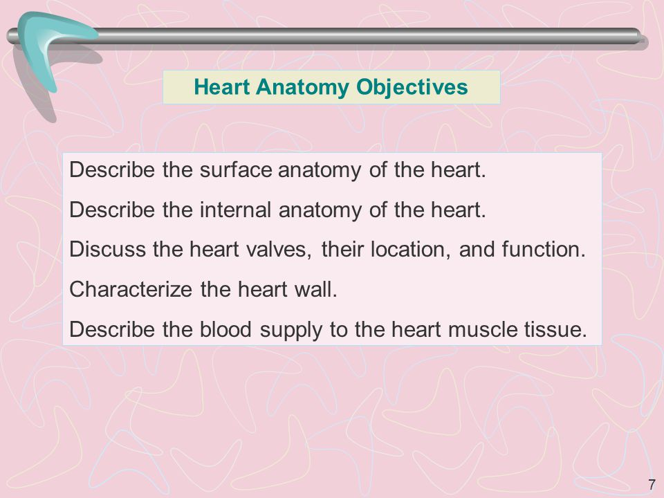 7 Heart Anatomy Objectives Describe the surface anatomy of the heart.