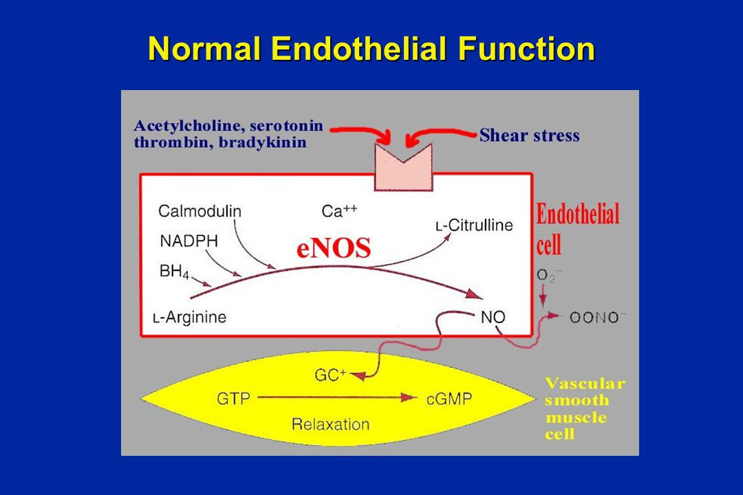 Normal Endothelial Function