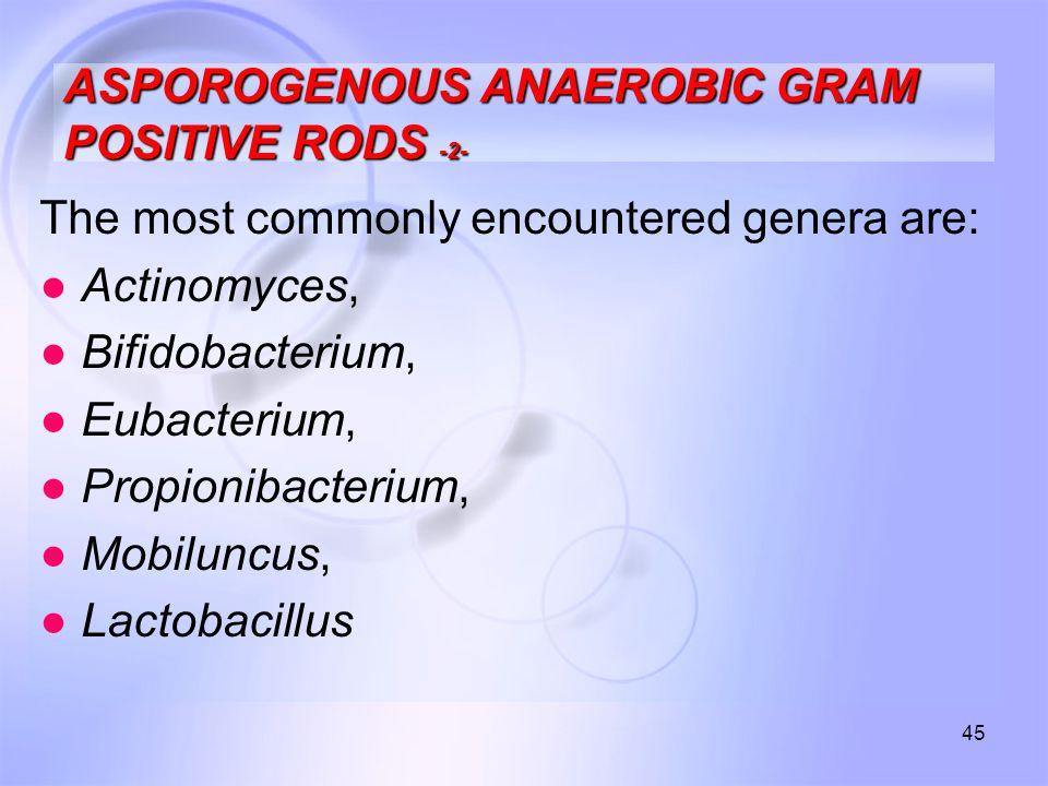 45 ASPOROGENOUS ANAEROBIC GRAM POSITIVE RODS -2- The most commonly encountered genera are: ● Actinomyces, ● Bifidobacterium, ● Eubacterium, ● Propioni