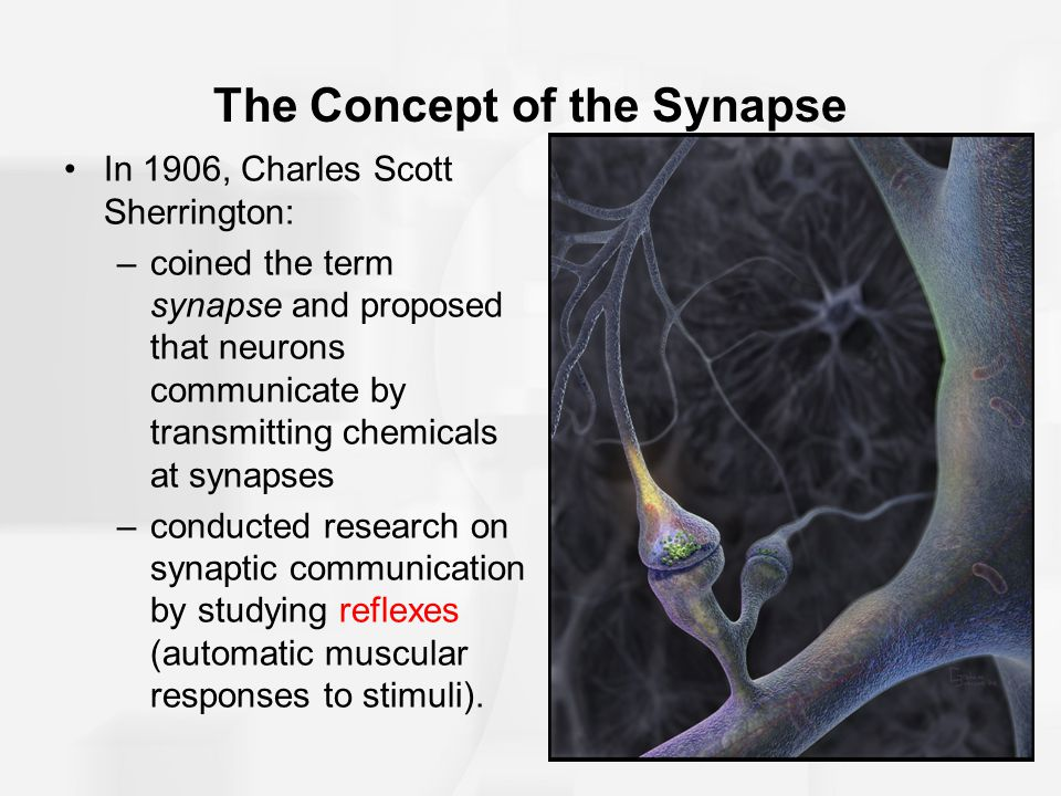 Drugs and the Synapse Tetrahydocannabinol (THC): –active ingredient in marijuana –attaches to cannabinoid receptors, especially in the cerebral cortex, cerebellum, basal ganglia, and hippocampus.