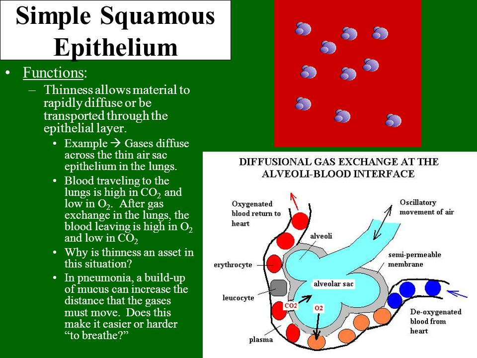 Simple Squamous Epithelium Functions: –Thinness allows material to rapidly diffuse or be transported through the epithelial layer. Example  Gases dif