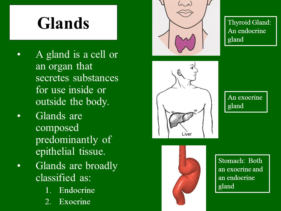 Glands A gland is a cell or an organ that secretes substances for use inside or outside the body. Glands are composed predominantly of epithelial tiss