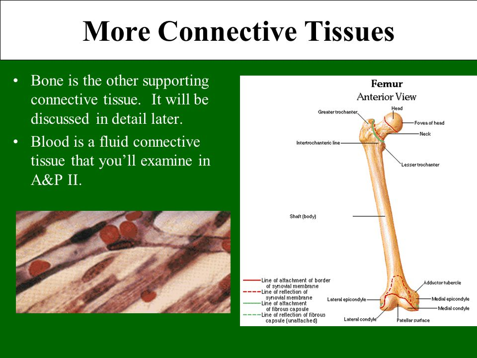 More Connective Tissues Bone is the other supporting connective tissue. It will be discussed in detail later. Blood is a fluid connective tissue that