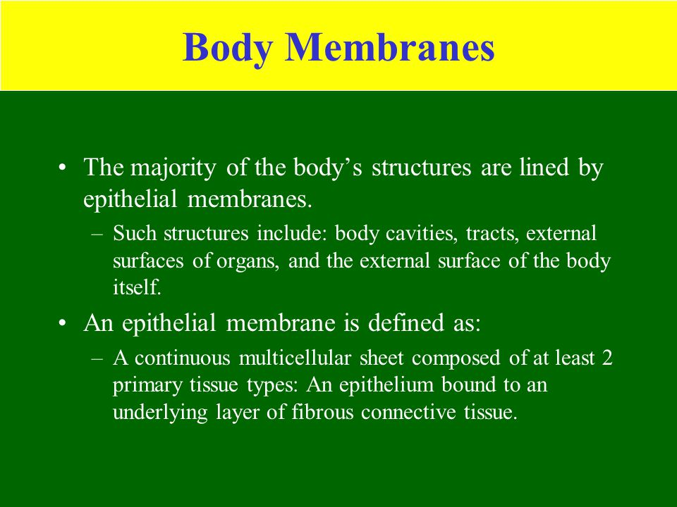 Body Membranes The majority of the body's structures are lined by epithelial membranes. –Such structures include: body cavities, tracts, external surf