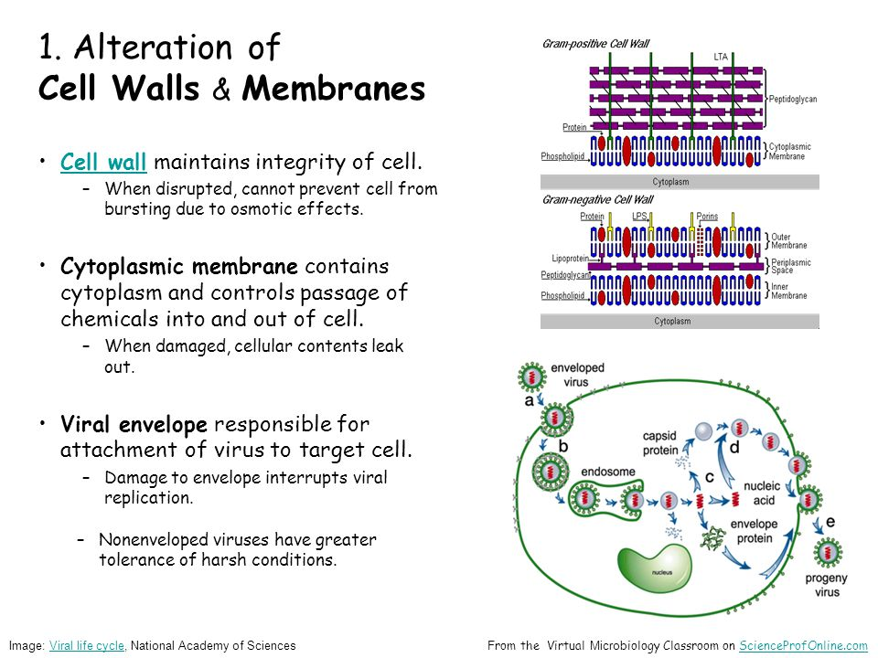 1. Alteration of Cell Walls & Membranes Cell wall maintains integrity of cell.Cell wall –When disrupted, cannot prevent cell from bursting due to osmo