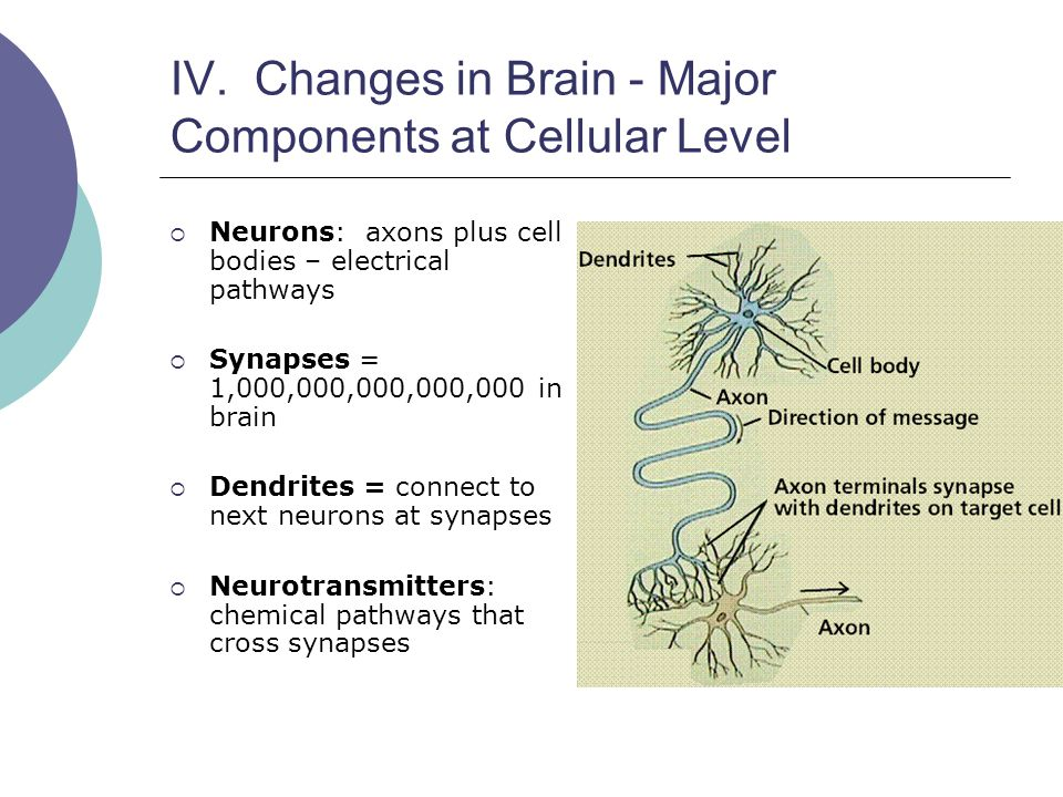 IV. Changes in Brain - Major Components at Cellular Level  Neurons: axons plus cell bodies – electrical pathways  Synapses = 1,000,000,000,000,000 i