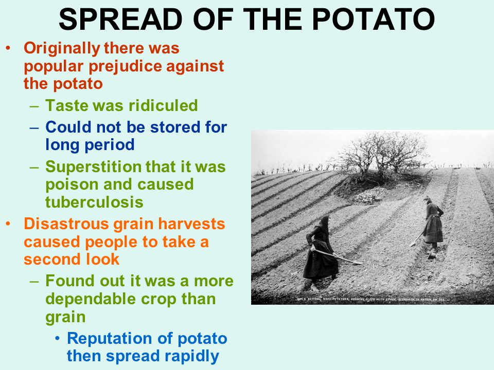 SPREAD OF THE POTATO Originally there was popular prejudice against the potato –Taste was ridiculed –Could not be stored for long period –Superstition that it was poison and caused tuberculosis Disastrous grain harvests caused people to take a second look –Found out it was a more dependable crop than grain Reputation of potato then spread rapidly
