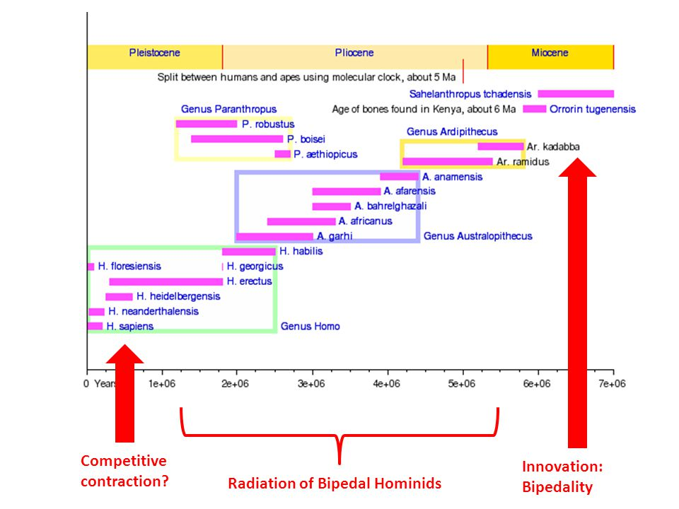 Innovation: Bipedality Radiation of Bipedal Hominids Competitive contraction