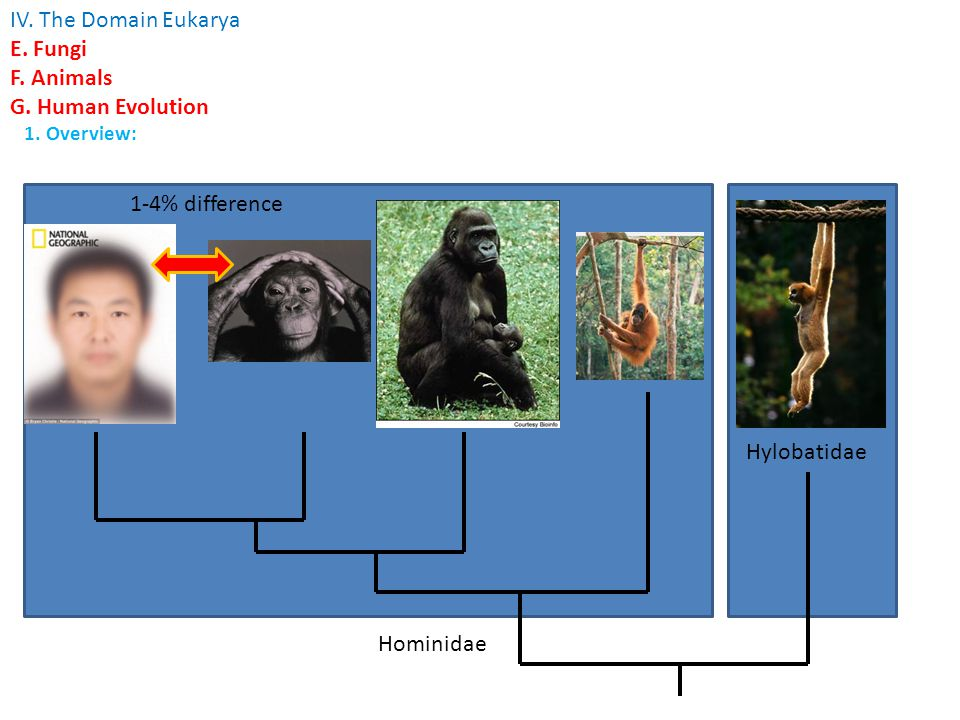 IV. The Domain Eukarya E. Fungi F. Animals G. Human Evolution 1. Overview: Hominidae Hylobatidae 1-4% difference