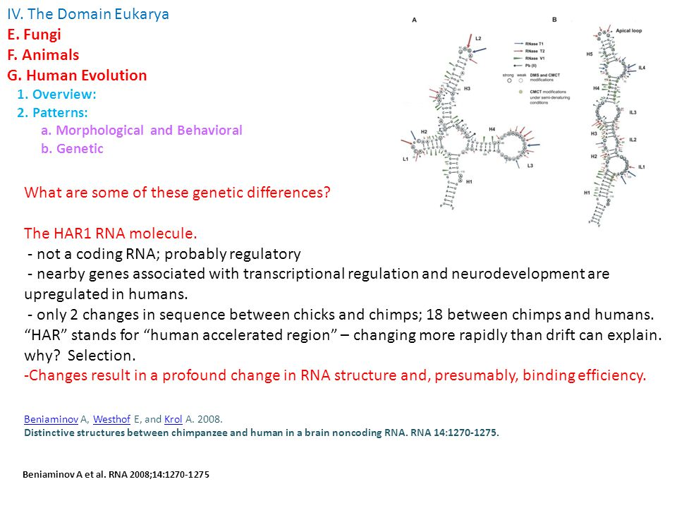 What are some of these genetic differences. The HAR1 RNA molecule.