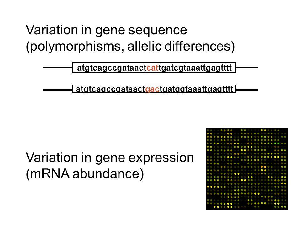 Variation in gene sequence (polymorphisms, allelic differences) atgtcagccgataactcattgatcgtaaattgagtttt atgtcagccgataactgactgatggtaaattgagtttt Variatio