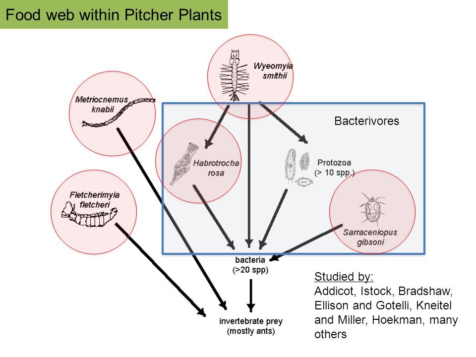 Food web within Pitcher Plants Studied by: Addicot, Istock, Bradshaw, Ellison and Gotelli, Kneitel and Miller, Hoekman, many others Bacterivores