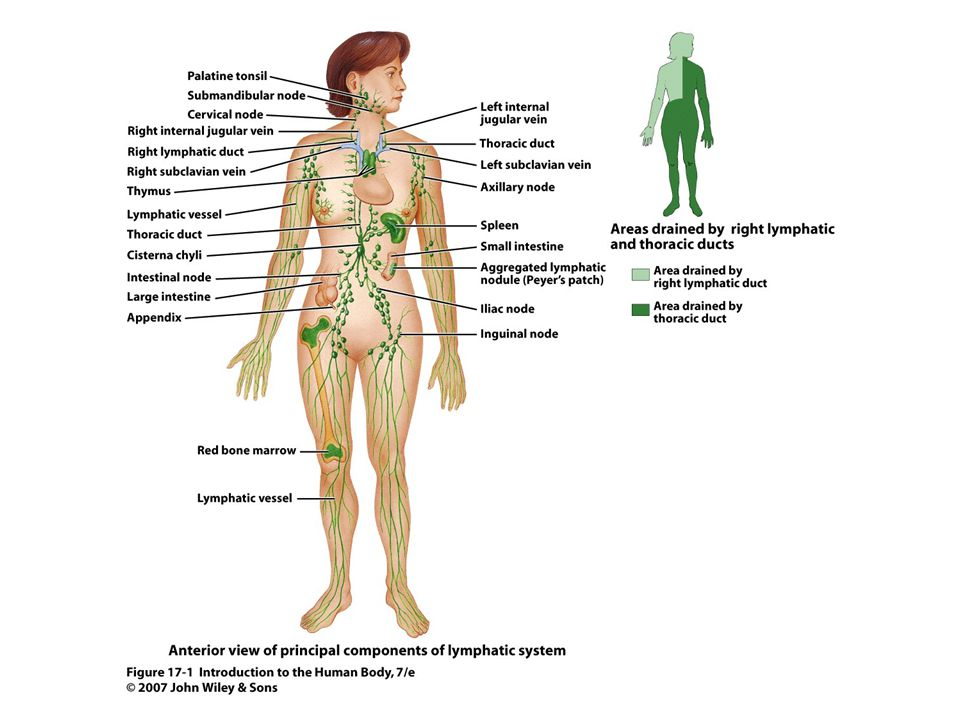 17 Unit 1 Skin: Physical & chemical Epidermal structure & constant shedding Mucous membranes: Sticky mucus layer straps microbes, etc.