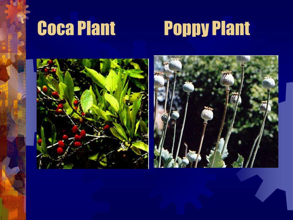 Coca Plant Poppy Plant