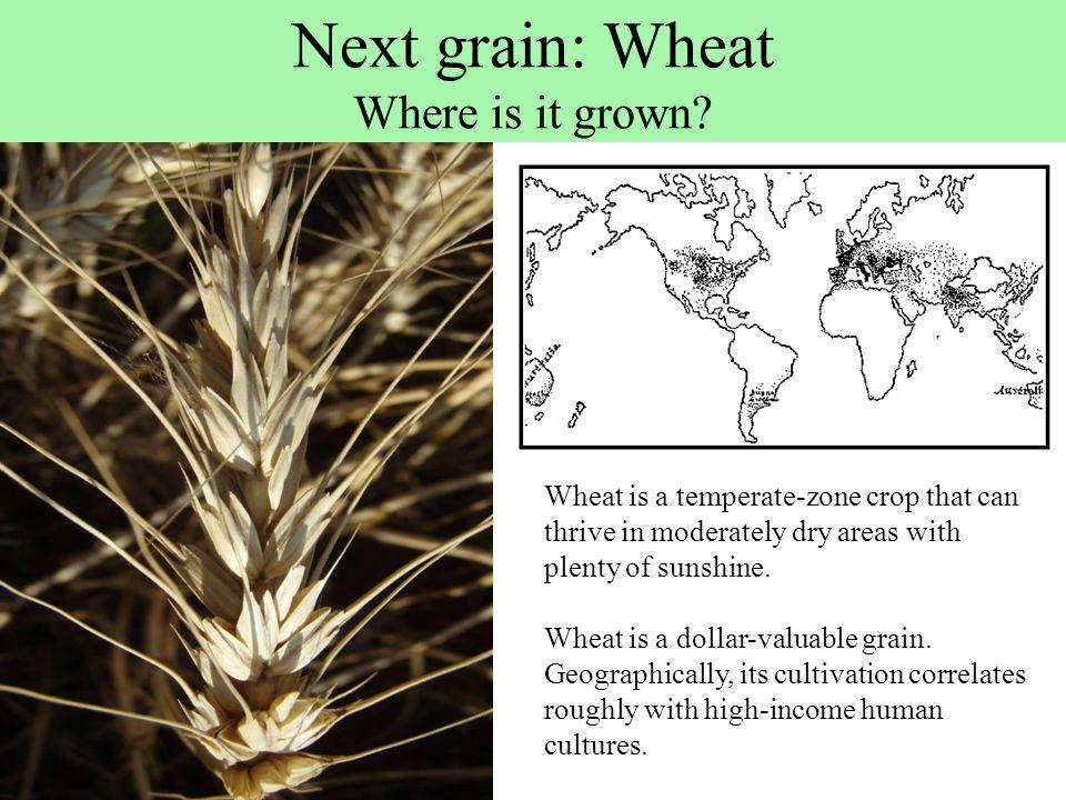 Next grain: Wheat Where is it grown.