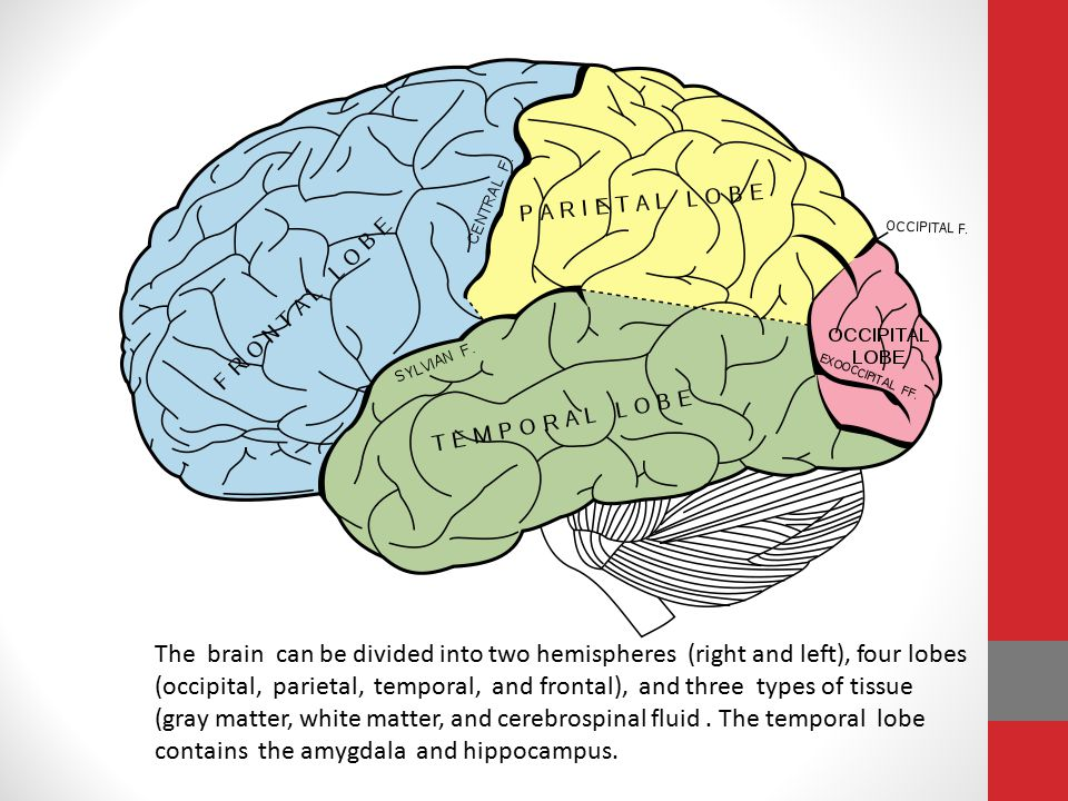The brain can be divided into two hemispheres (right and left), four lobes (occipital, parietal, temporal, and frontal), and three types of tissue (gray matter, white matter, and cerebrospinal fluid.