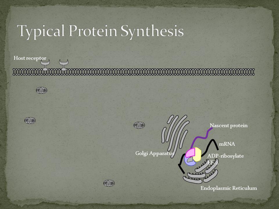 Host receptor Nascent protein mRNA ADP-ribosylate EF-2 Endoplasmic Reticulum Golgi Apparatus