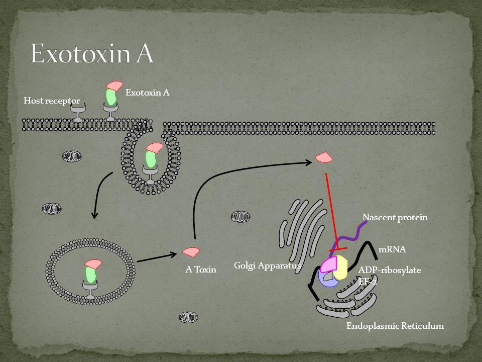 A Toxin Nascent protein Host receptor Exotoxin A Golgi Apparatus Endoplasmic Reticulum mRNA ADP-ribosylate EF-2
