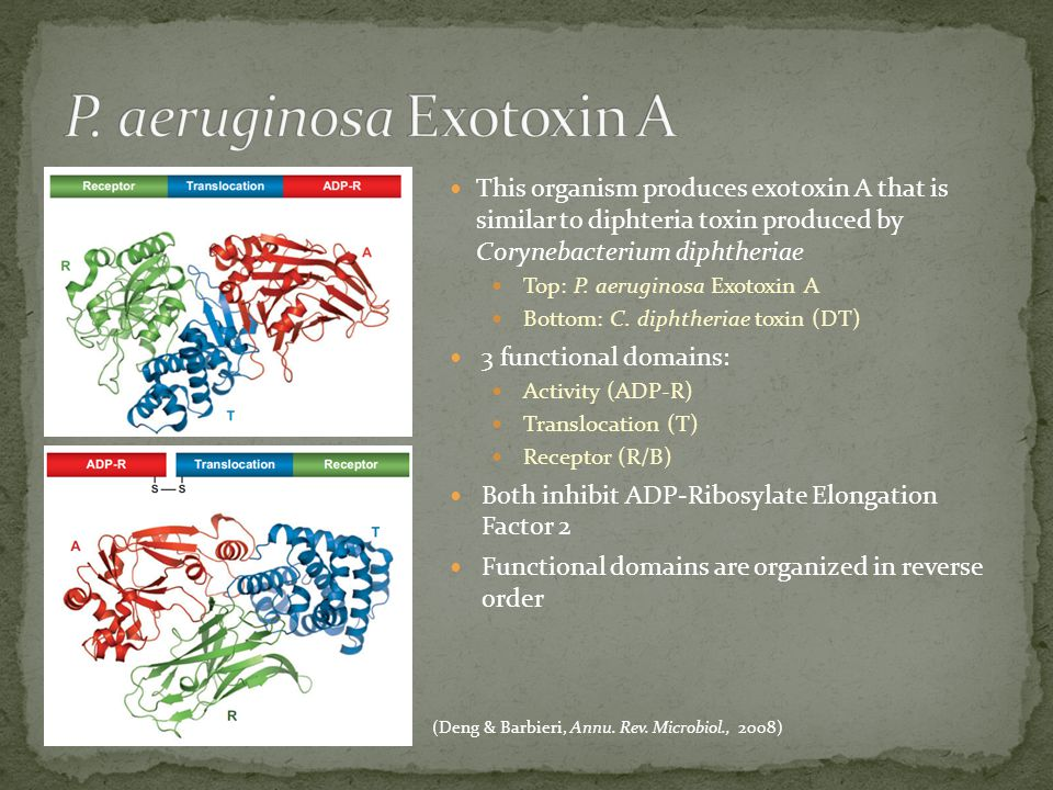 This organism produces exotoxin A that is similar to diphteria toxin produced by Corynebacterium diphtheriae Top: P.
