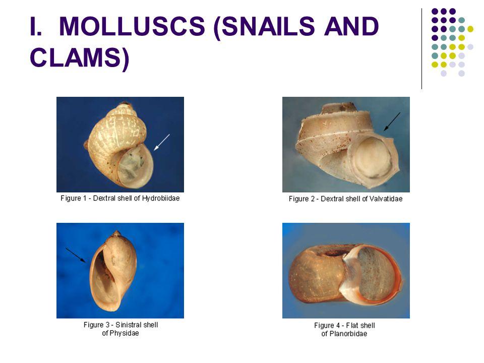 I. MOLLUSCS (SNAILS AND CLAMS)