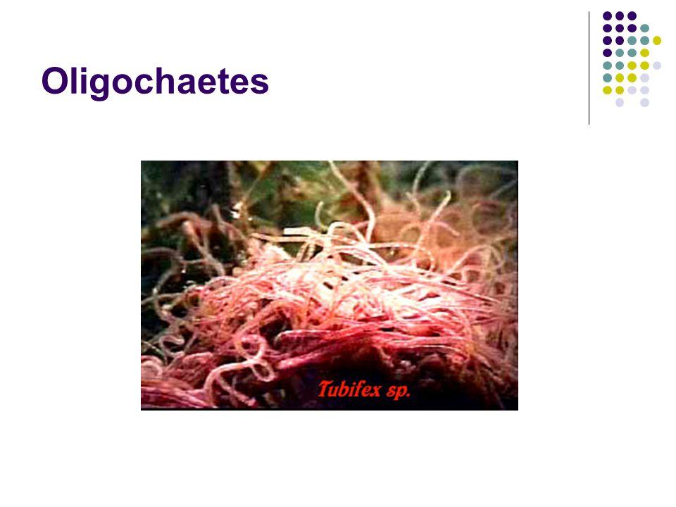 Oligochaetes