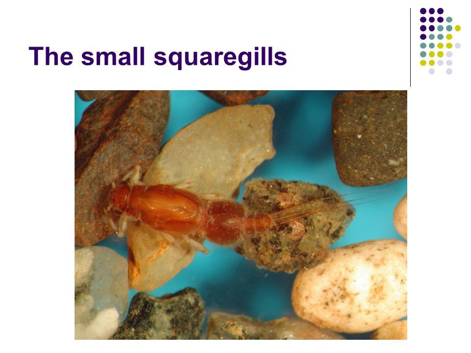The small squaregills