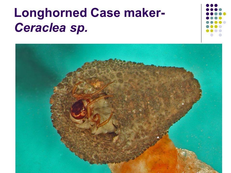 Longhorned Case maker- Ceraclea sp.