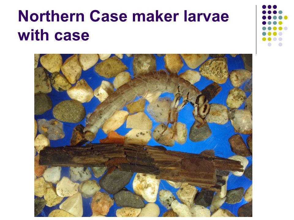 Northern Case maker larvae with case