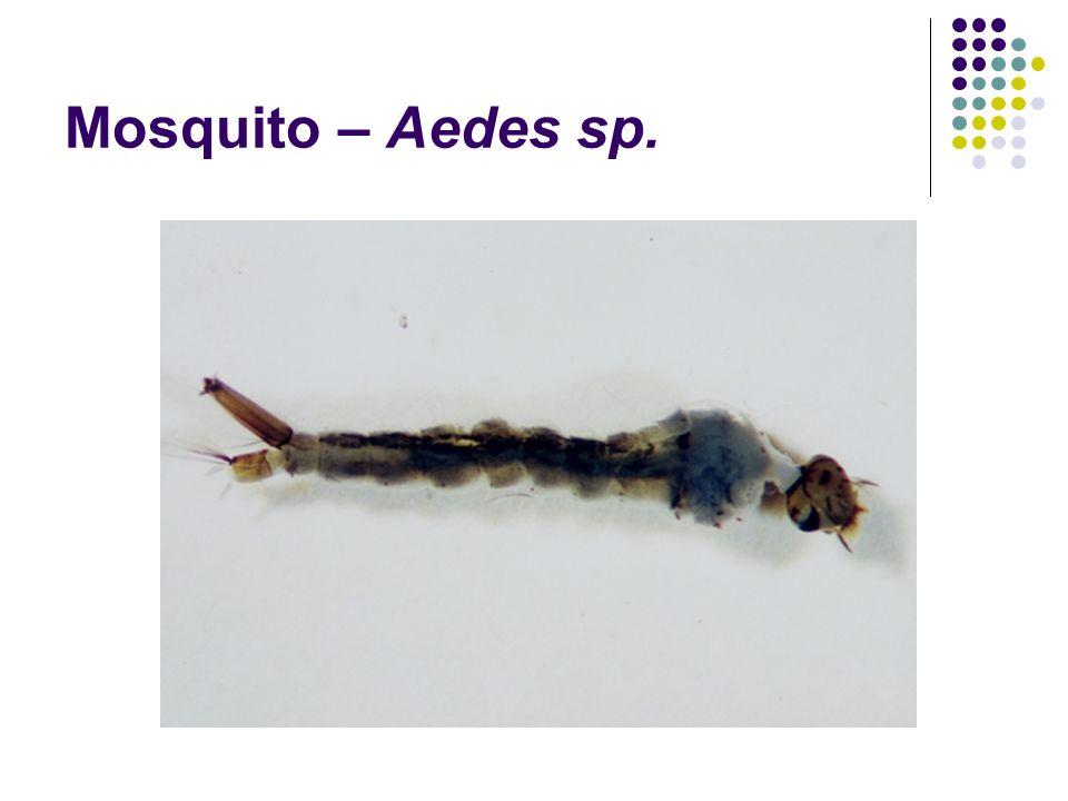 Mosquito – Aedes sp.