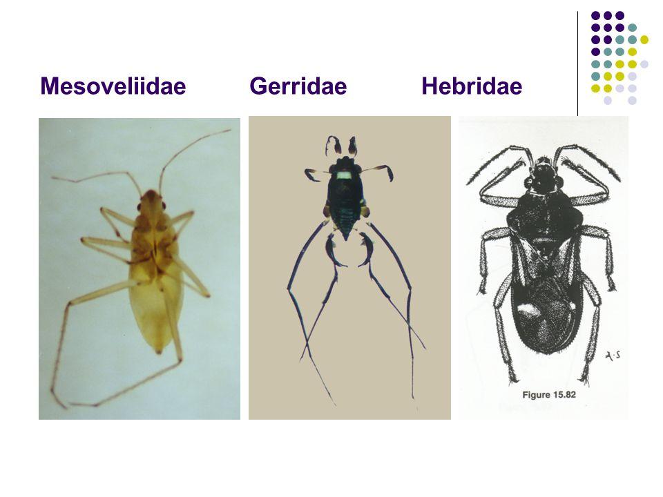 Mesoveliidae Gerridae Hebridae