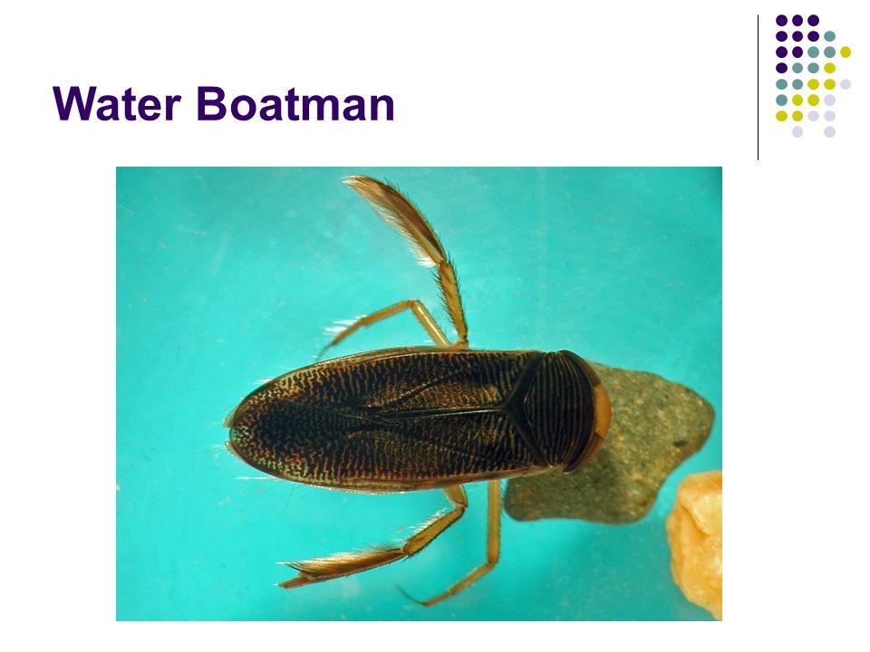 Water Boatman