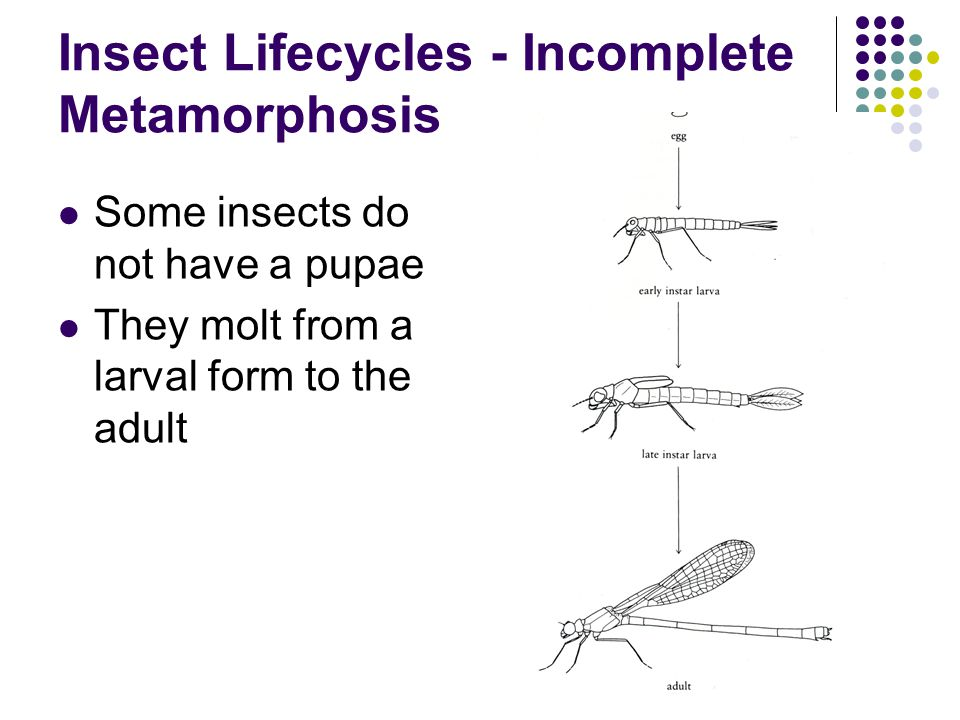 Insect Lifecycles - Incomplete Metamorphosis Some insects do not have a pupae They molt from a larval form to the adult
