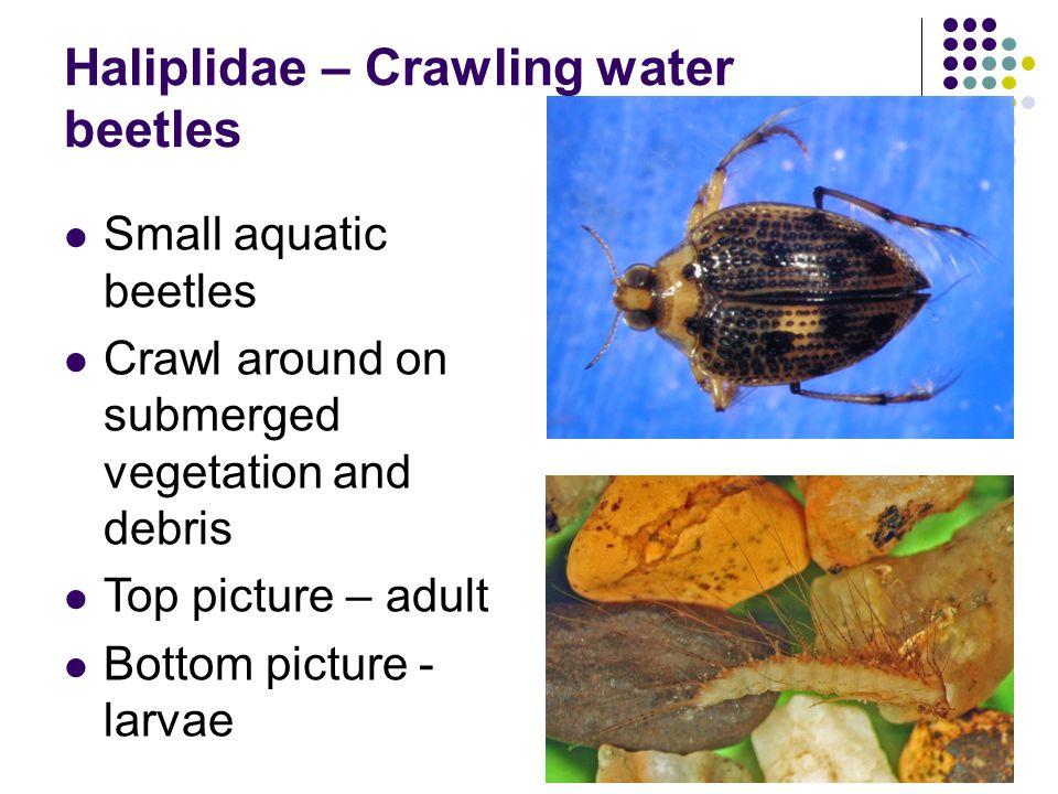 Haliplidae – Crawling water beetles Small aquatic beetles Crawl around on submerged vegetation and debris Top picture – adult Bottom picture - larvae