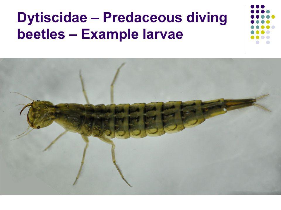 Dytiscidae – Predaceous diving beetles – Example larvae