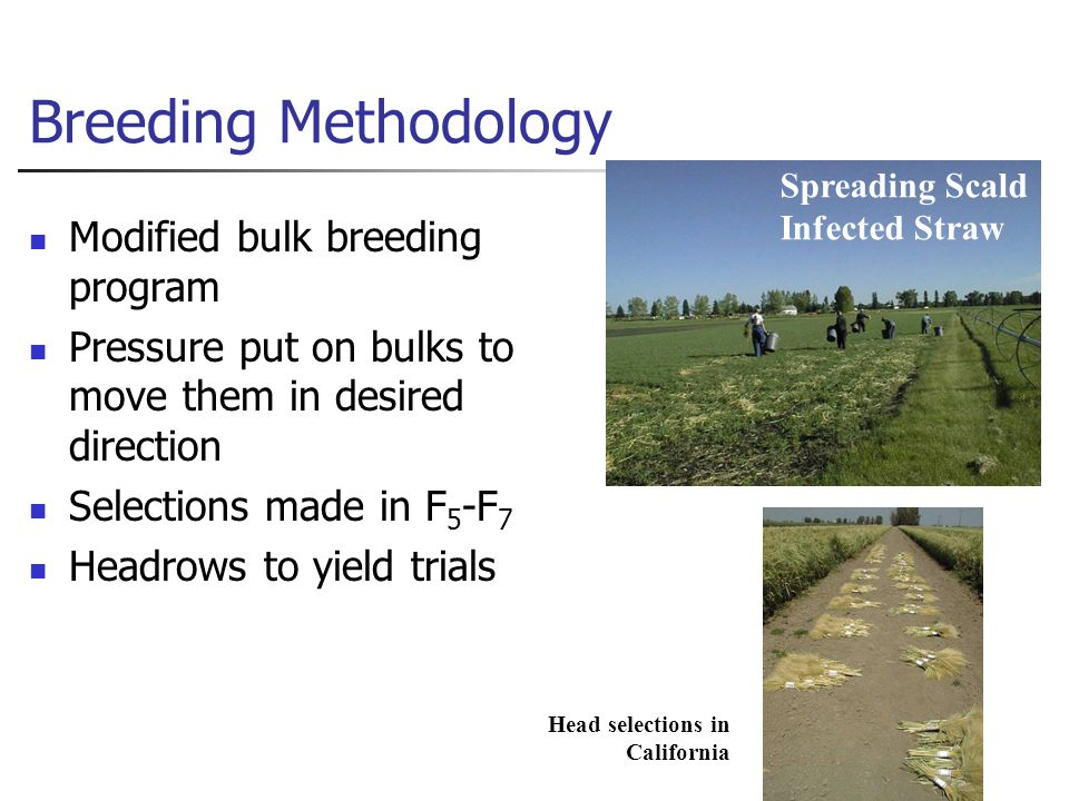 Breeding Methodology Modified bulk breeding program Pressure put on bulks to move them in desired direction Selections made in F 5 -F 7 Headrows to yield trials Spreading Scald Infected Straw Head selections in California