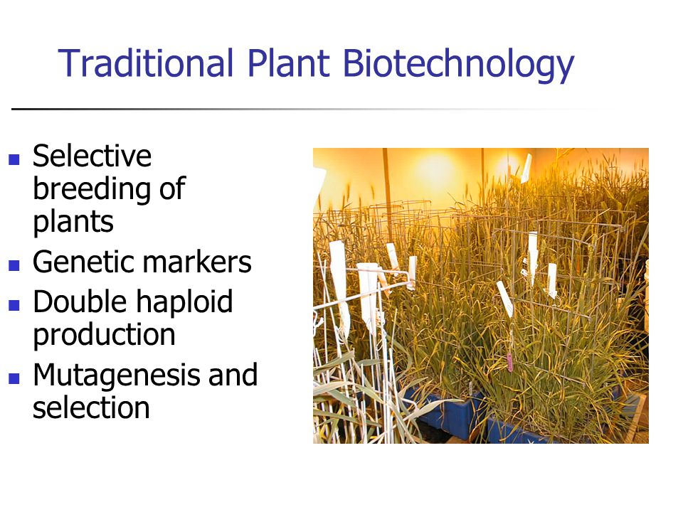 Traditional Plant Biotechnology Selective breeding of plants Genetic markers Double haploid production Mutagenesis and selection