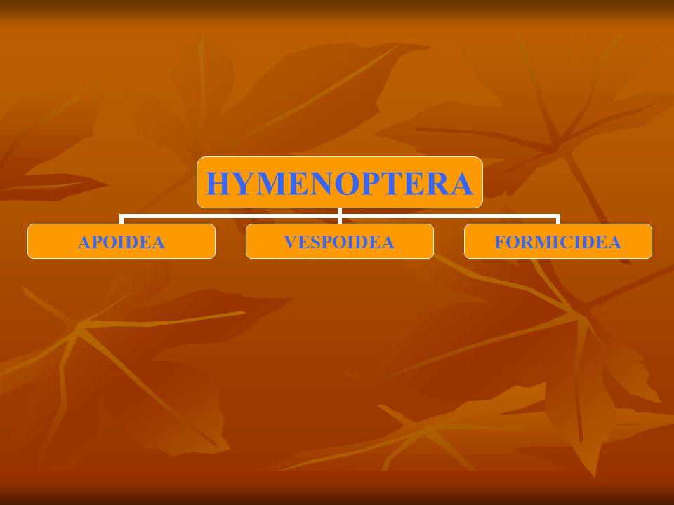 HYMENOPTERA APOIDEAVESPOIDEAFORMICIDEA