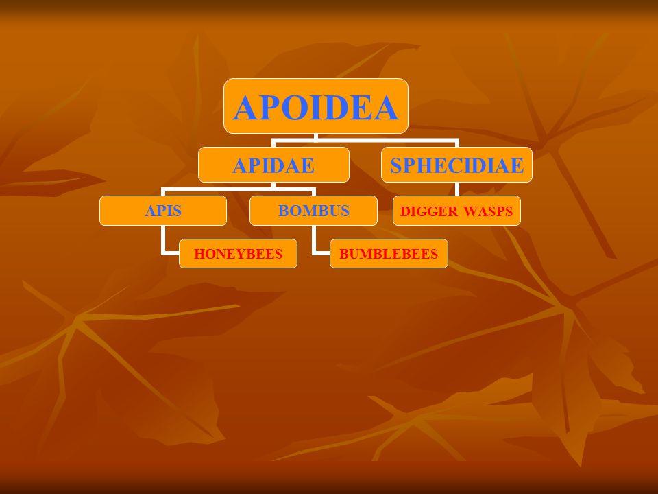 APOIDEA APIDAE APIS HONEYBEES BOMBUS BUMBLEBEES SPHECIDIAE DIGGER WASPS