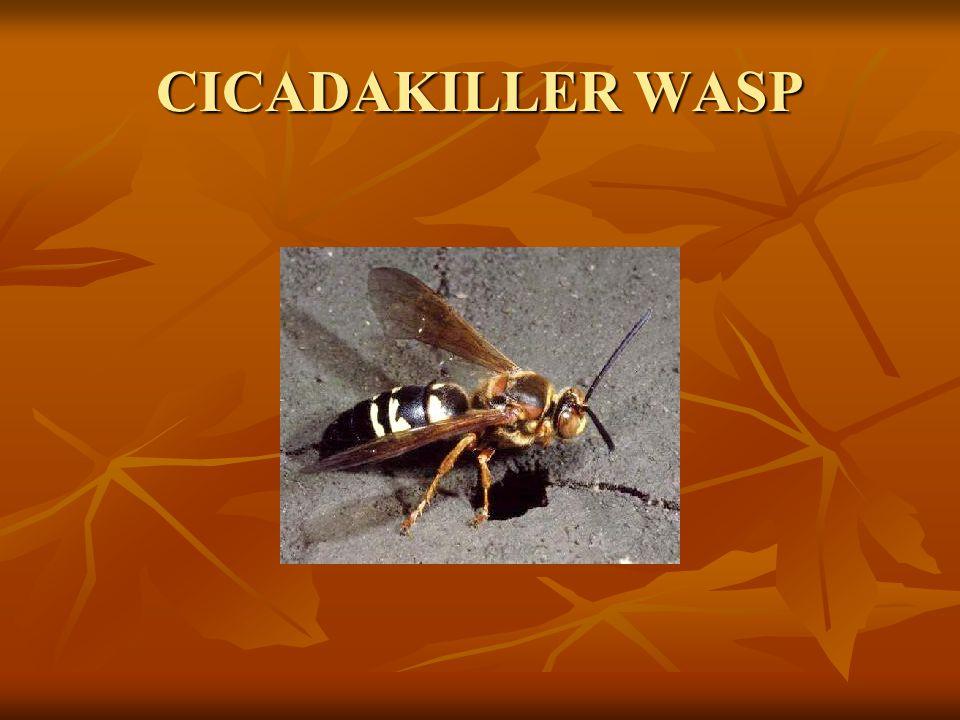CICADAKILLER WASP