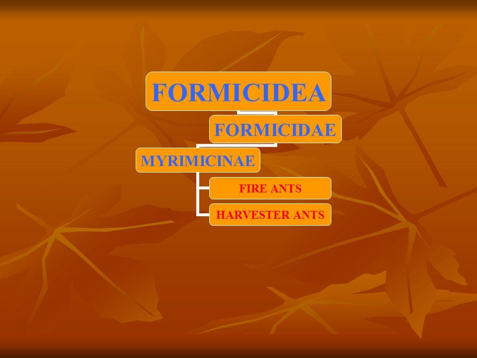 FORMICIDEA FORMICIDAE MYRIMICINAE FIRE ANTS HARVESTER ANTS