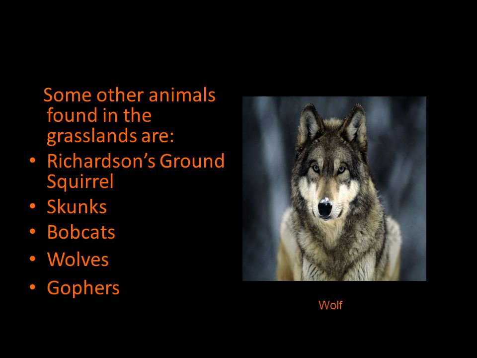 Some other animals found in the grasslands are: Richardson's Ground Squirrel Skunks Bobcats Wolves Gophers Wolf
