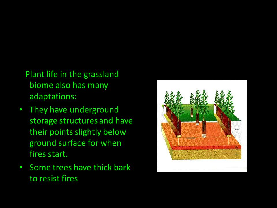 Plant life in the grassland biome also has many adaptations: They have underground storage structures and have their points slightly below ground surface for when fires start.