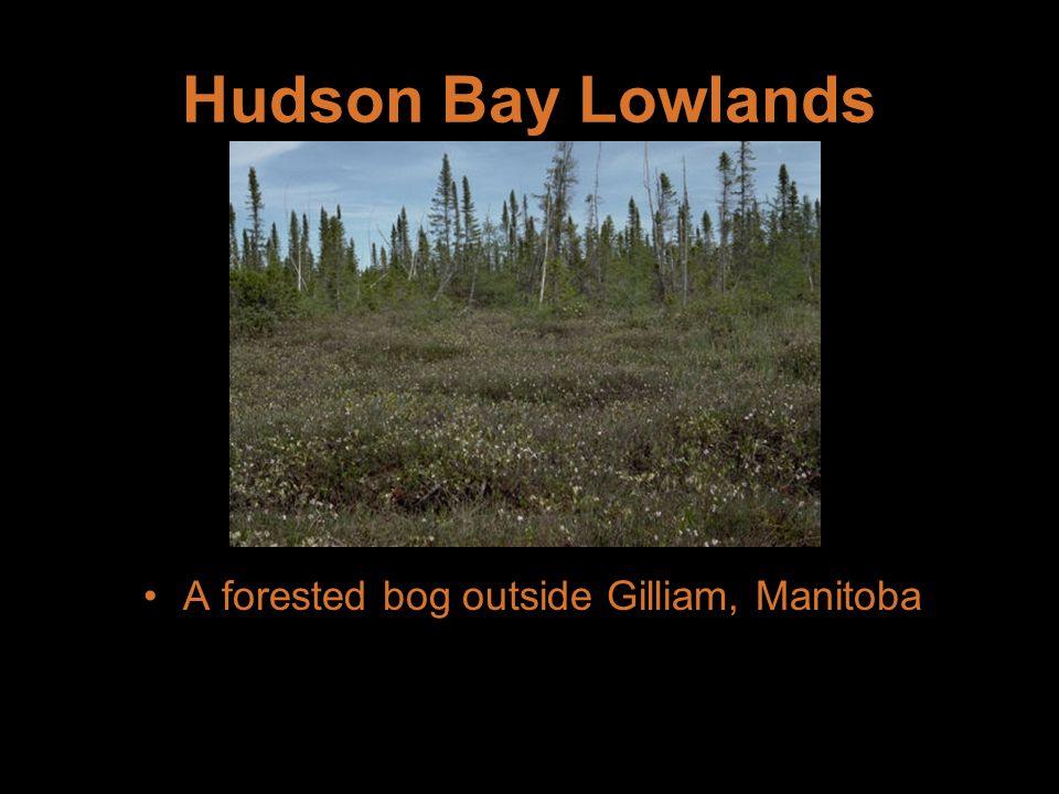 A forested bog outside Gilliam, Manitoba