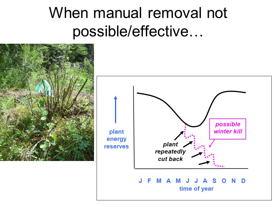 When manual removal not possible/effective… plant repeatedly cut back plant energy reserves J F M A M J J A S O N D time of year possible winter kill