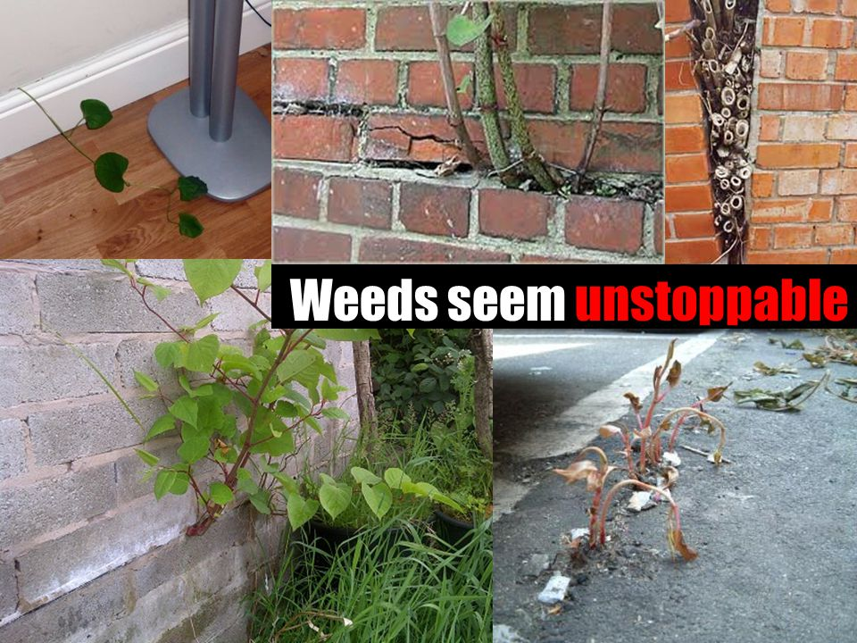 Weeds seem unstoppable