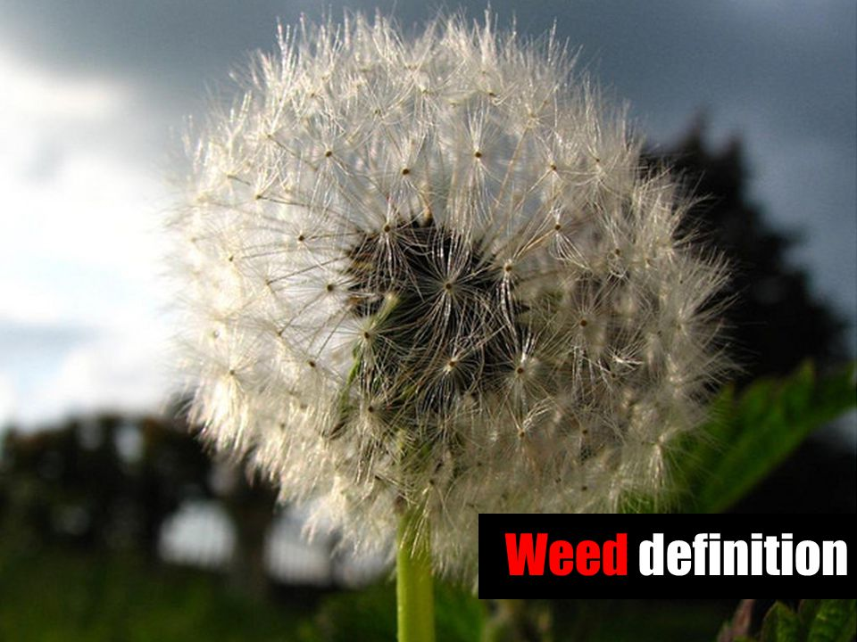 Weed definition