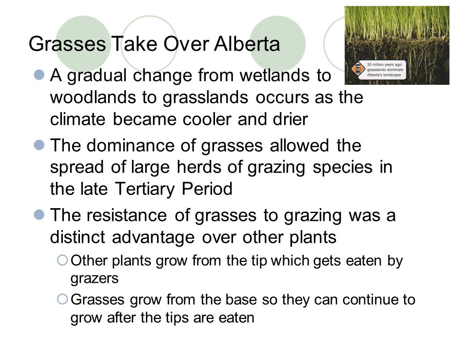 Grasses Take Over Alberta A gradual change from wetlands to woodlands to grasslands occurs as the climate became cooler and drier The dominance of gra